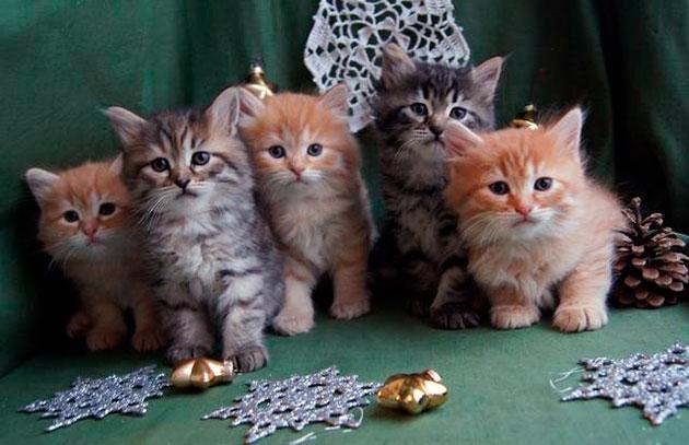 Существуют три типа окрасов у сибирской кошки, в которые входят множество видок цветов
