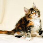 Сколько стоят кошки породы Мейн-кун
