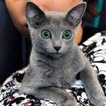 Купание кошек породы Русская голубая