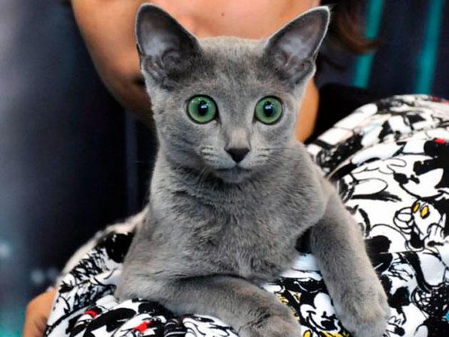 Как ухаживать за роскошной русской голубой кошкой?