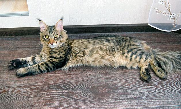 Половое созревание кошки куна можно наблюдать по изменению её поведения
