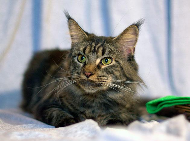 Кошка мейн-куна становиться половозрелой в возрасте 6-10 месяцев