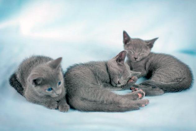 Половое созревание кота и кошки породы Русская голубая