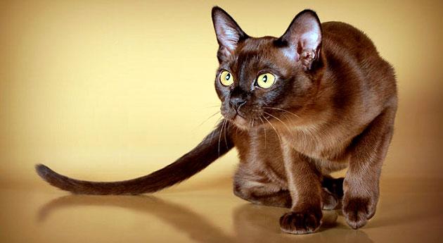 Бурманские кошки ненавязчивы и преданы своему хозяину