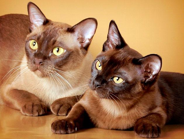 Можно придумать кличку бурманской кошке исходя из её окраса, хотя это не является обязательным требованием