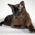 Сколько лет живет бурманская кошка