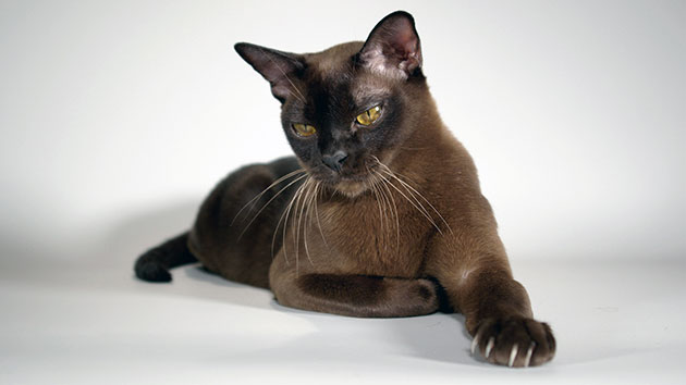 Следите за питанием бурманской кошки, иначе это скажется на её здоровье