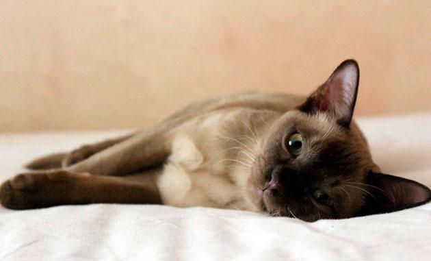 Продолжительность жизни бурманской кошки