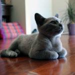 Сколько лет живет русская голубая кошка