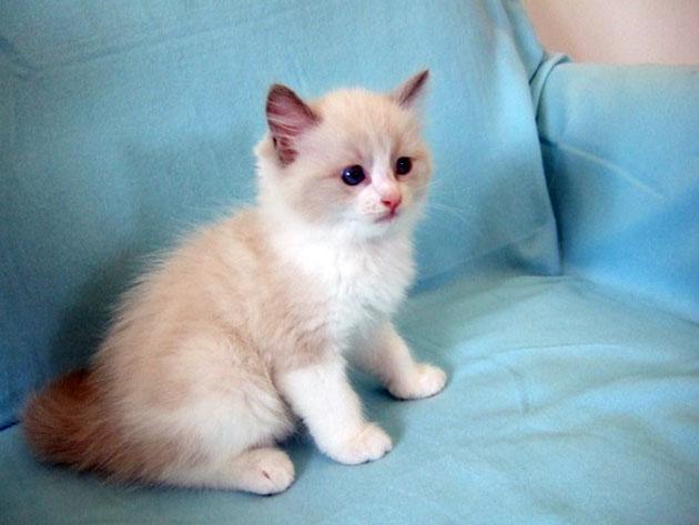 Когда котятам регдолла дают новую пищу, необходимо, наблюдать за его состоянием - на предмет появления аллергии