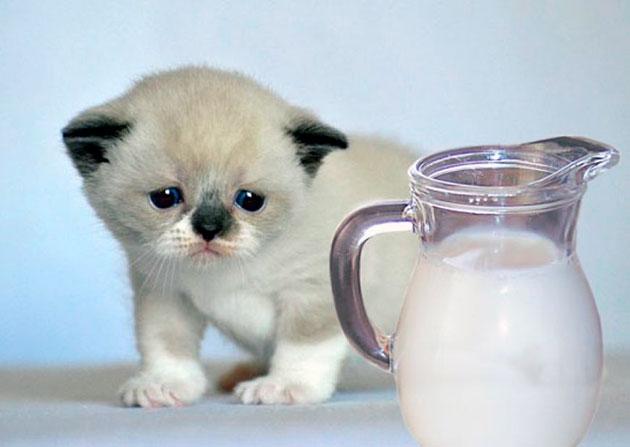 котенков скотиш-фолла нужно кормить варенным мясом, а так же баловать молочком