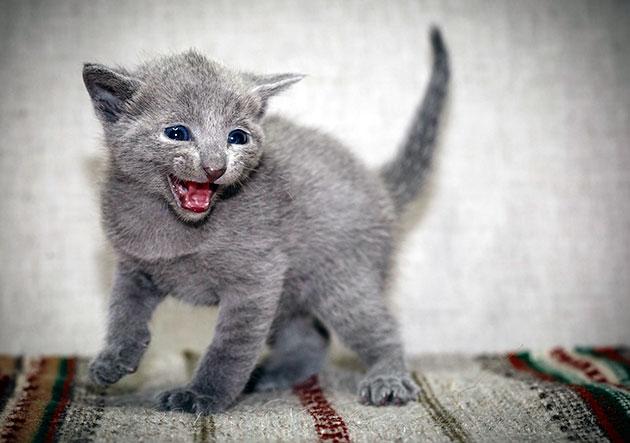 Полугодовалому котенку русской голубой пищу дают 3-4 раза в сутки