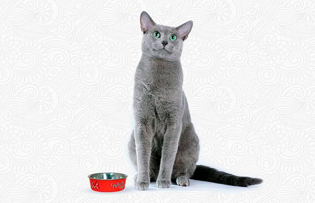 Русскую голубую кошку следует кормить сбалансировано или готовыми кормами