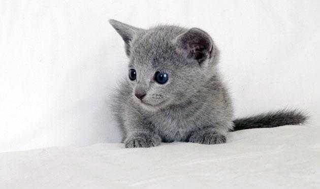 Воспитание русской голубой кошки следует начинать с самых малых лет