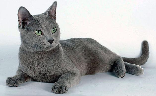Размеры кошек породы Русская голубая