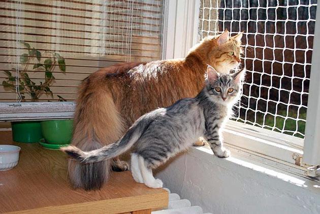 Котята сибирской кошки появляются на свет весом не более 130 грамм
