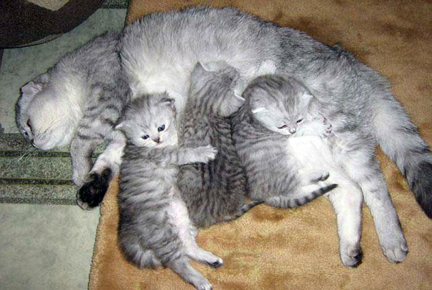 У шотландской вислоухой кошки, обязательно должна быть родословная