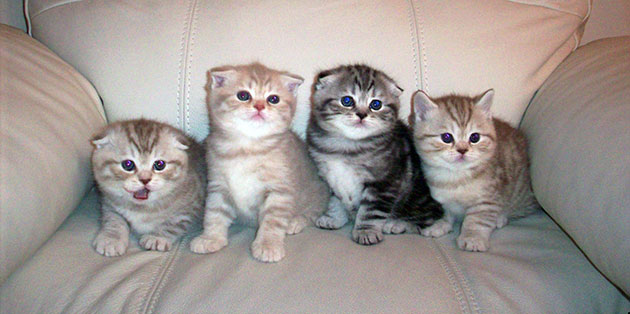Цена шотландских вислоухих кошек варьируется от 8 до 25 тысяч рублей