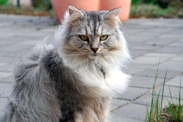 Шерсть у сибирской кошки характеризуется густой и красивой шерстью
