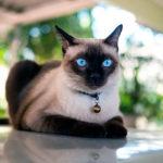 История породы кошек Сиамская