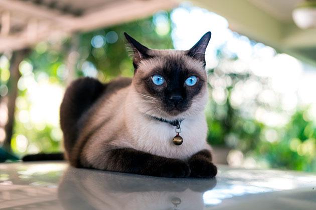 Сиамская кошка также получила распространения во многих странах европы и постсоветского пространства