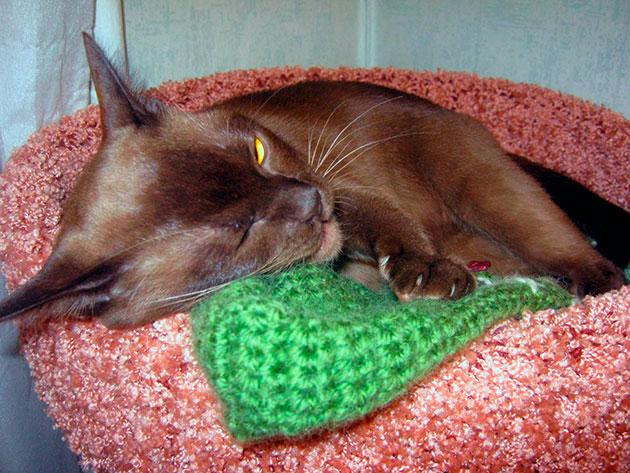 У синдрома плоской грудной клетки множество причин и проявляется она уже на первых часах рождения котенка