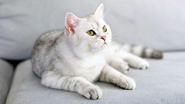 Шотландскую вислоухую кошку лучше всего приобретать в специализированных питомниках