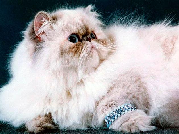 Кастрация или стерилизация персидской кошки могут продлить жизнь любимца