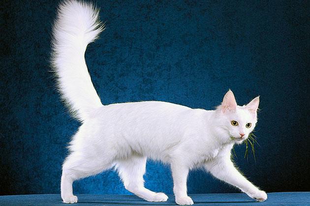 Сколько живут ангорские кошки