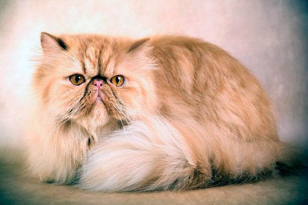 до скольки лет живут персидские кошки