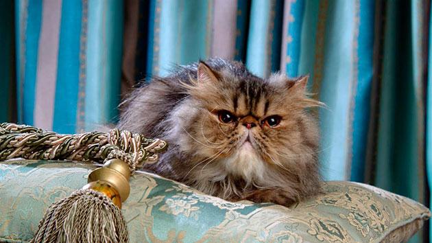 Сколько живут кошки персы thumbnail