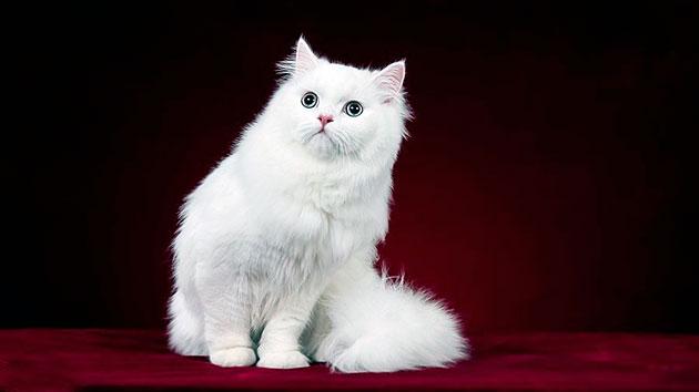 Турецкая ангорская кошка относиться к незнакомым в доме с любопытством