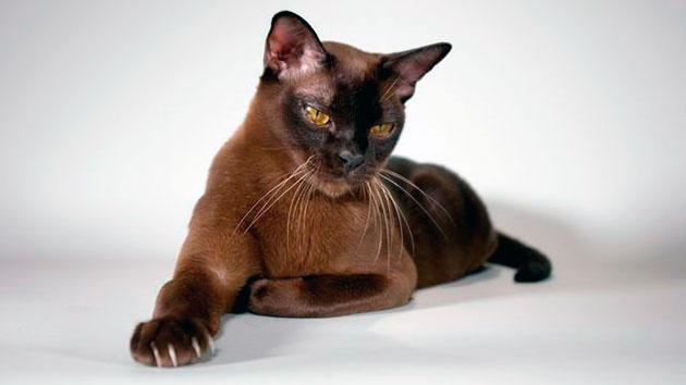 Кошкам бурмы, как правило, дают более ласковые имена