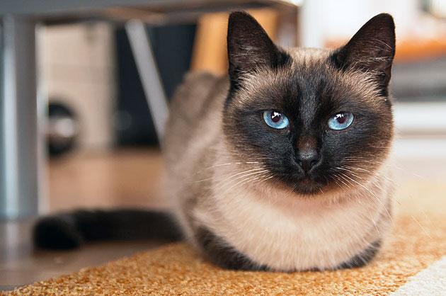 У сиаской кошки есть предрасположенность к некоторым заболеваниям, поэтому как часто вовремя сделанная прививка и посещение ветеринара оказывает прямое воздействие на продолжительность жизни кошки