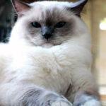 Стандарты породы кошек рэгдолл