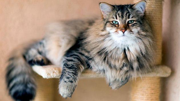 Сибирские кошки не мстительны, очень привязаны к хозяину и отличаются общительностью