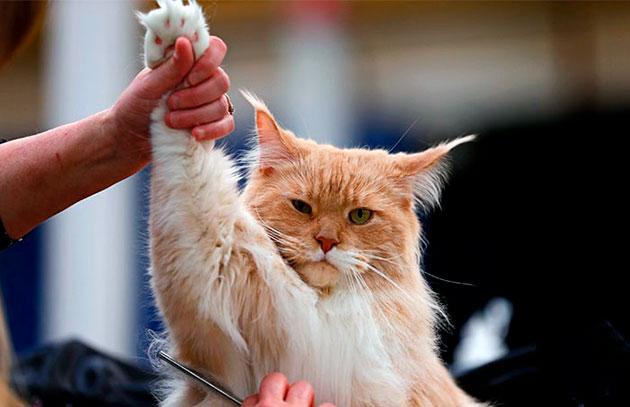 Просушивать мейн-куна следует параллельно расчесывая котика