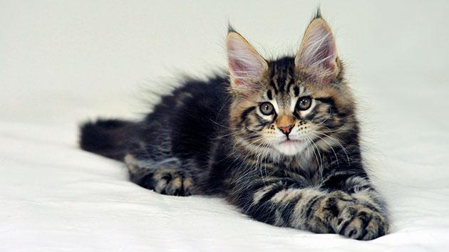 Первая прививка у котенка мейн куна должна быть произведена в возрасте 2 месяца 10 дней
