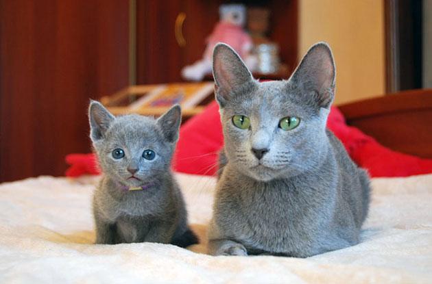 вес русской голубой кошки
