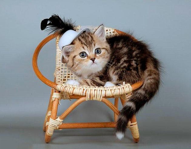 На первый взгляд британские кошки выглядят, как аристократы, но тем не менее они очень общительны и привязаны к хозяину