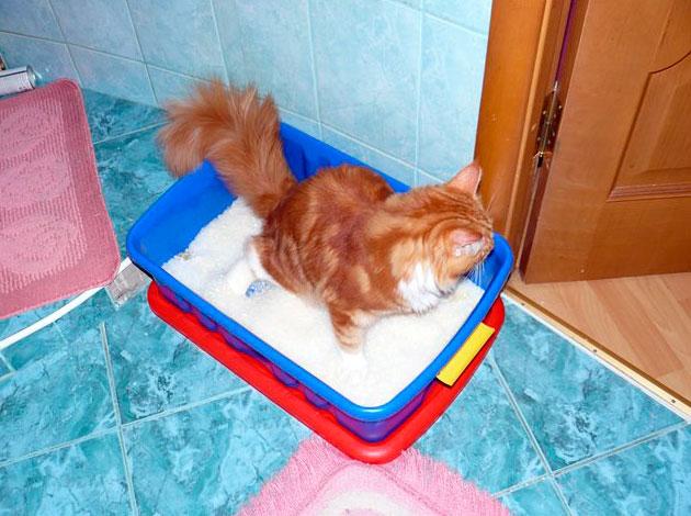 Если мейн-кун крутиться на мести и мельтешит - будет правильным перенести кошку к лотку и посадить на дно