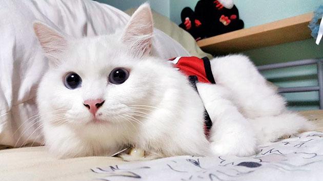 Ангора очень социализированная кошка, которая не переносит одиночества