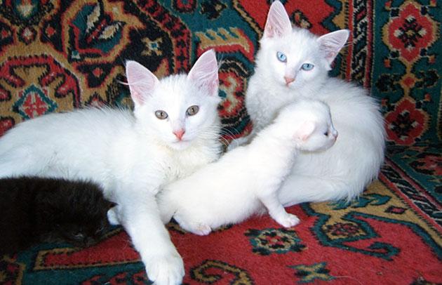 При выборе турецкой ангоры ориентируйтесь на то, что кот более напористый, а кошки более ласковее