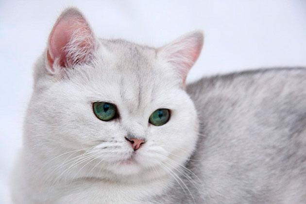 Голова у британской кошки должна быть круглая с широкими скулами