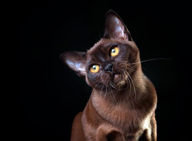 Важным моментом в уходе за бурманской кошкой является уход за ушками и глазами