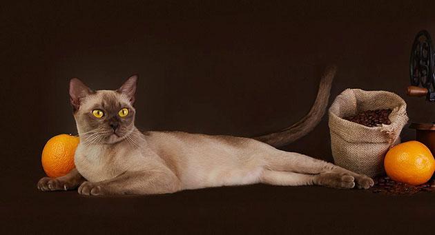 Бурманская кошка обладает отменным аппетитом, поэтому количество выдаваемой еды регулируете вы