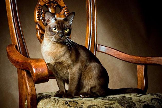 Уход за бурманской кошкой - основные правила содержания