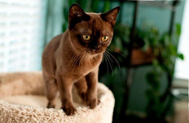 Бурмы предрасположены к гингивиту, поэтому чаще заглядывайте в ротовую полость кошке