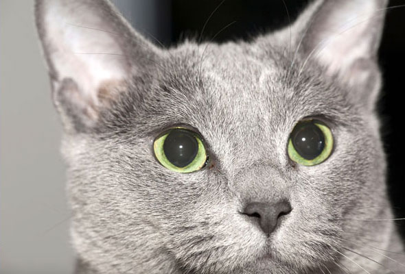 Следить за состоянием глаз у русской голубой кошки, необходимо ежедневно
