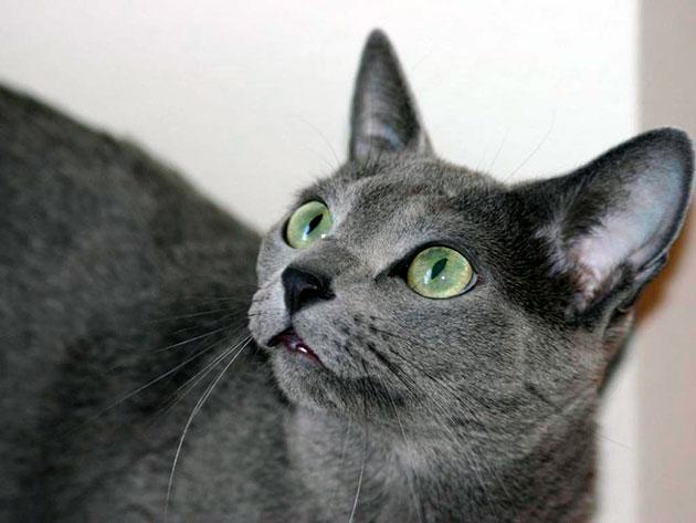 Когти и зубы заслуживают отдельного внимания у русской голубой кошки